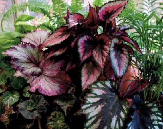 01 Learn with Masters REX Begonia