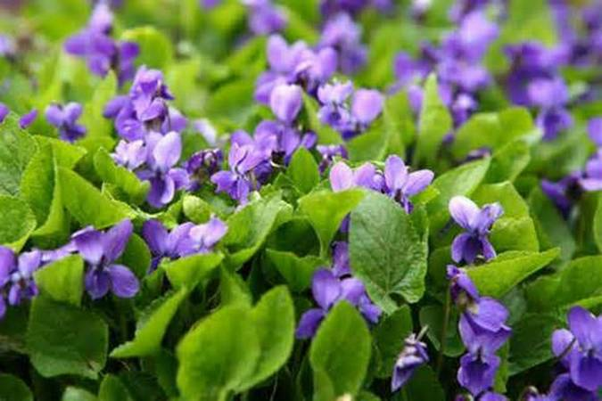 Wood violet is a very small plant