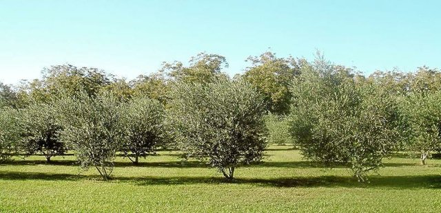 200-tree Olive Orchard