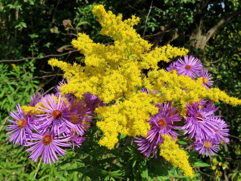 Fall Aster and Goldenrod