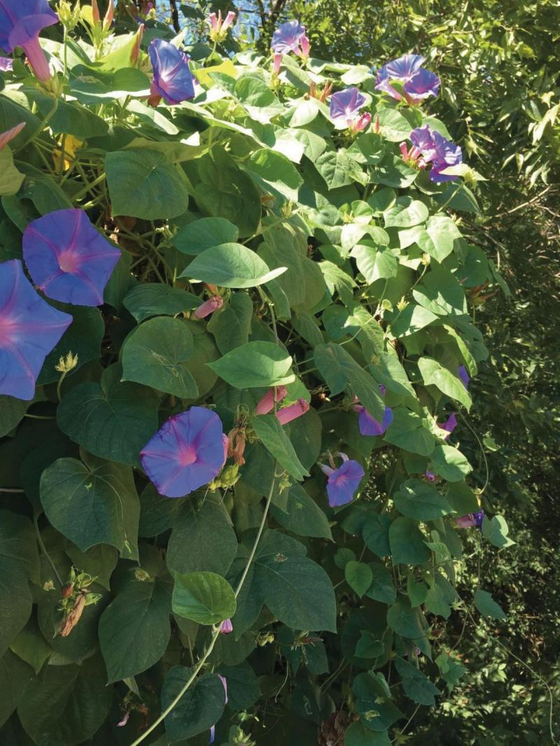Workhorse Vine Morning Glory