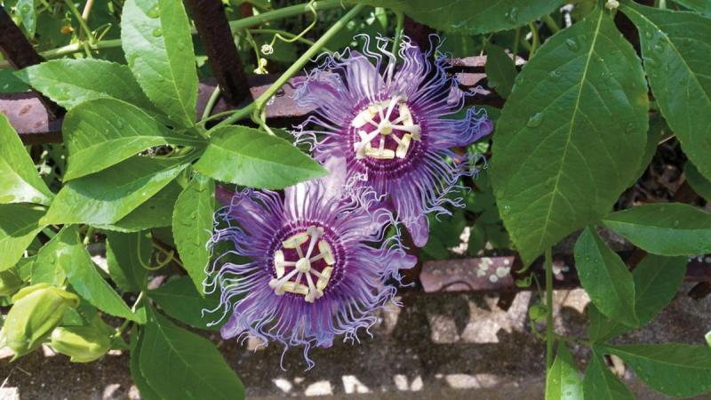 Workhorse Vine Passionflower