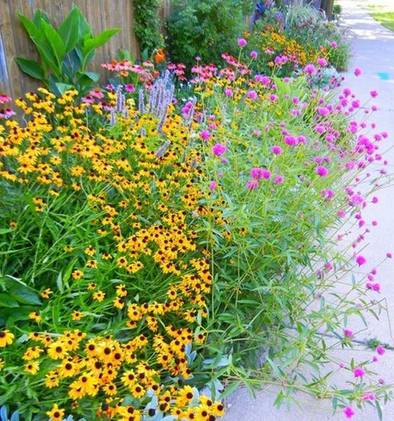 Gomphrena 'Fireworks' paired with Black Eyed Susans