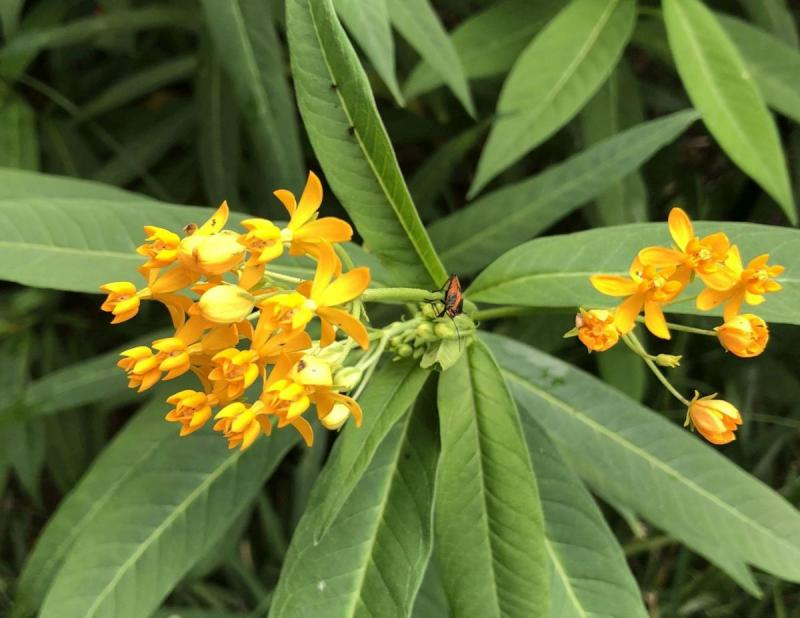 Yellow Butterfly Milkweed