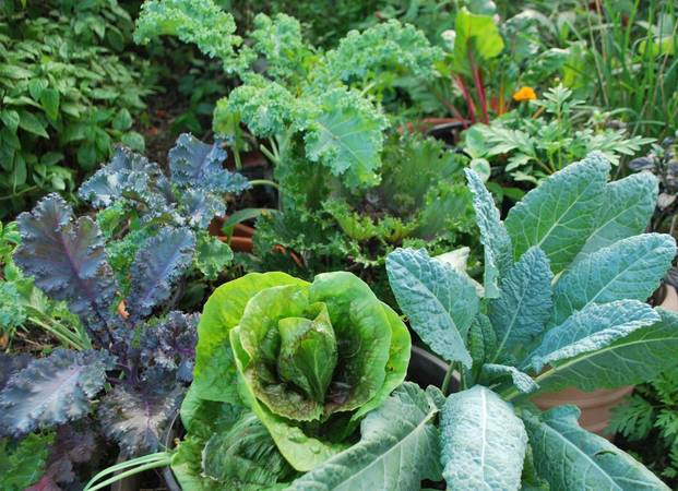 Various Kale and Cabbage