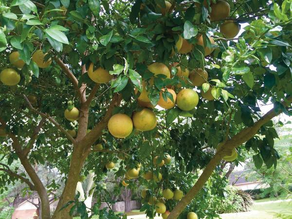 02 Rio Red Grapefruit Tree