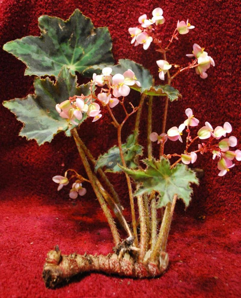 Dottie's Eyelash Begonia crooked rhizome