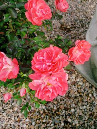 Pink Drift rose flowers double