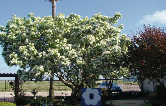 03 Myra Sue Fringe Tree