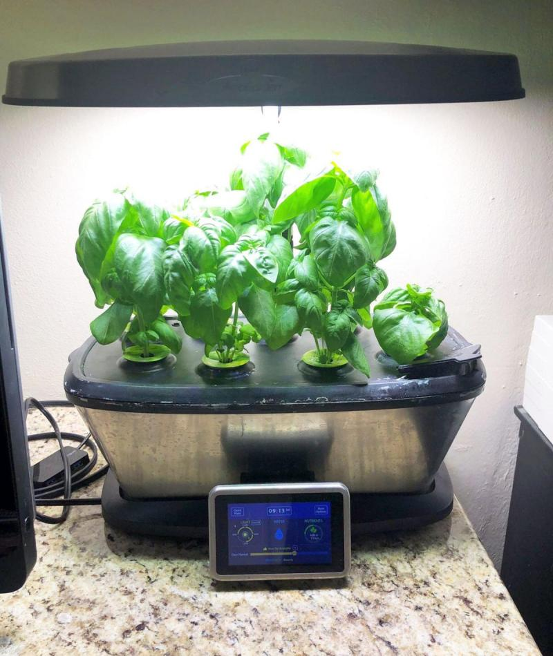 Basil used to make pesto growing in countertop indoor garden