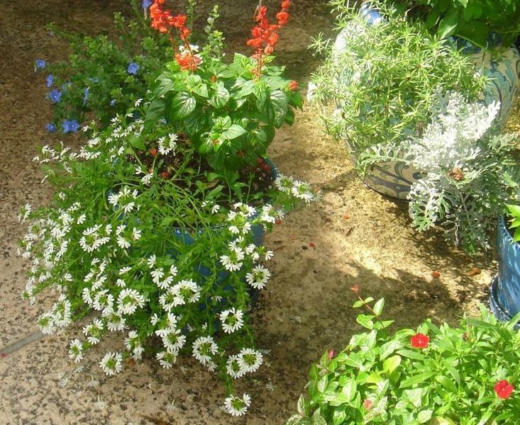 Red Salvia, Blue Daze and White Fanflower