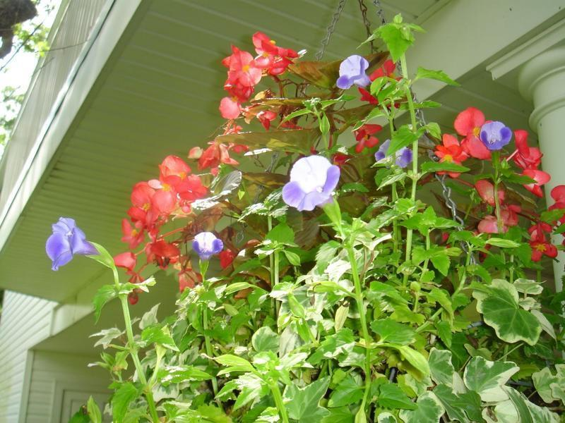 Blue Torenia with Red Begonia and Variegated Ivy