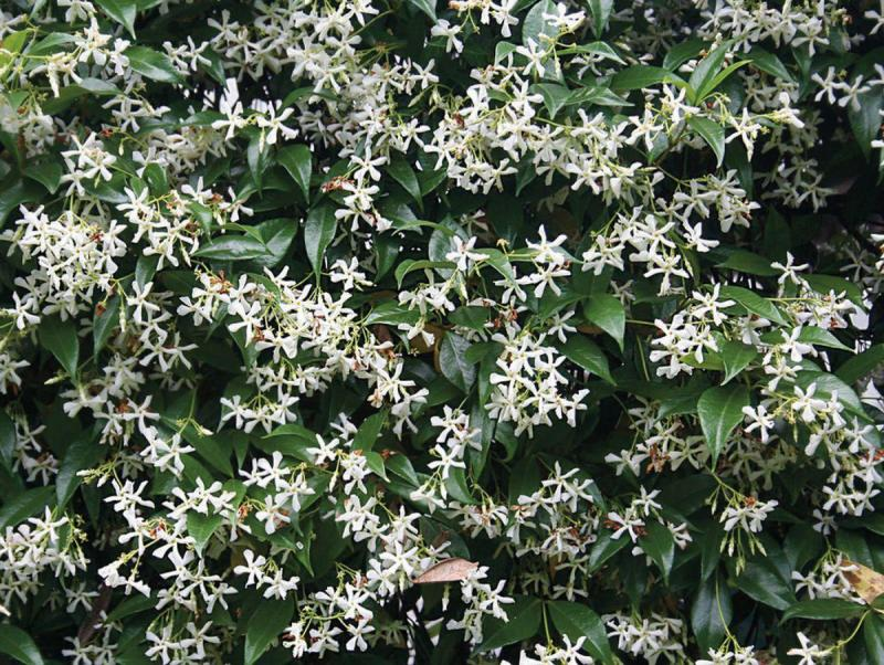 Star Jasmine Workhorse Vine