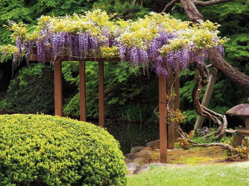 Workhorse Vine Chinese Wisteria