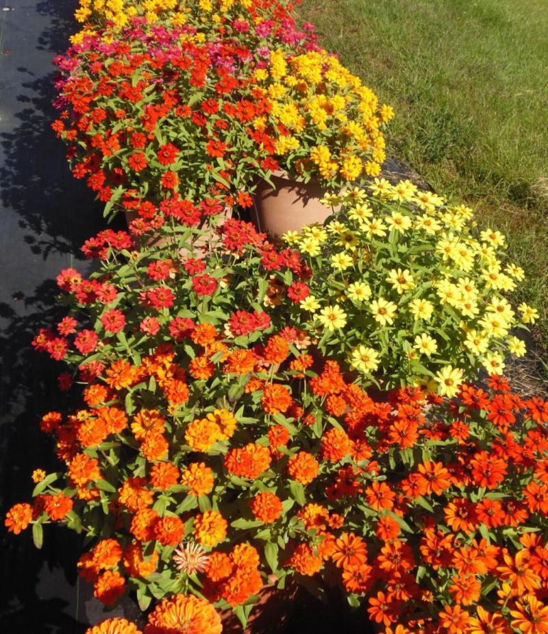 Fall Zinnias of varying colors