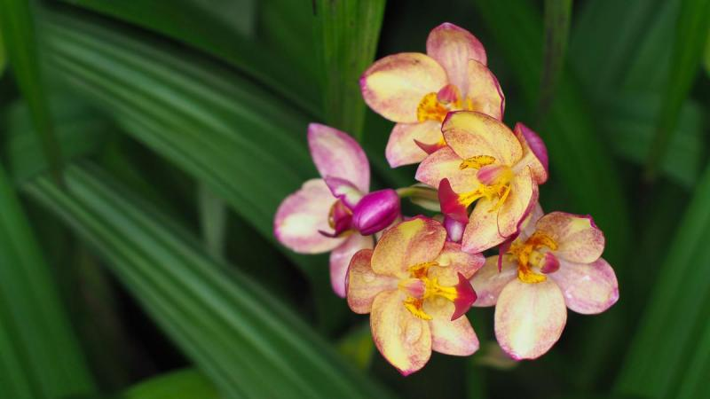 Spathoglottis plicata pink with yellow vareity