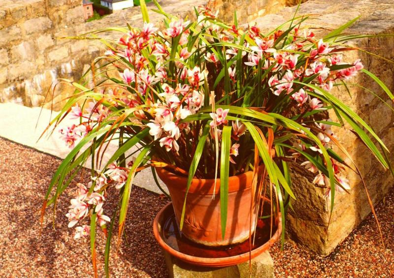 Ground Orchid In Container