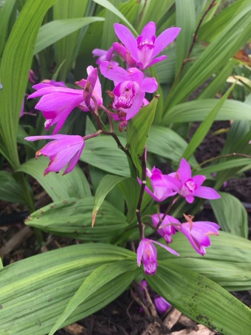 Purple Ground Orchid growing at Victoria Educational Gardens
