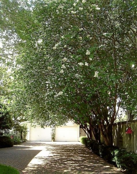 Natchez Crepe Myrtles