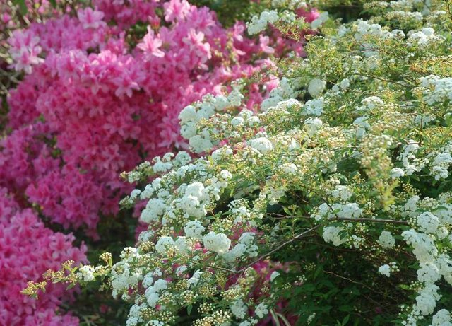 Azaleas and Bridal Wreath Spirea