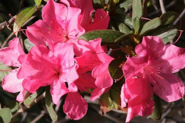 The Kurume Azalea is a dwarf bloomer