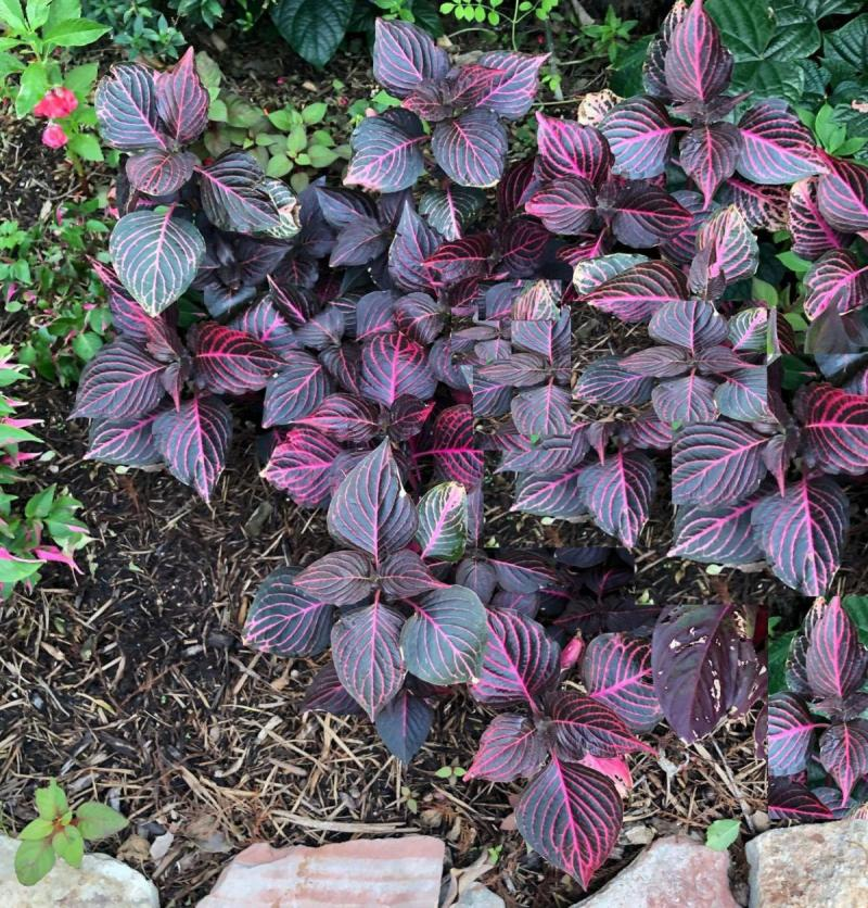 Bloodleaf Iresine