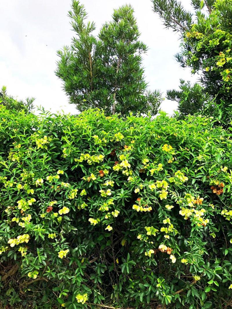 Large Yellow Butterfly Vine covering fence