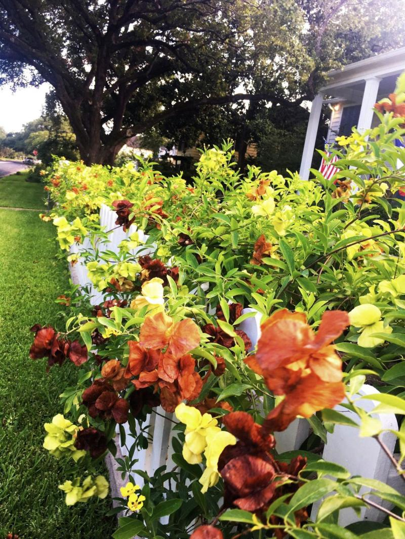 Yellow Butterfly Vine on White Picket Fence