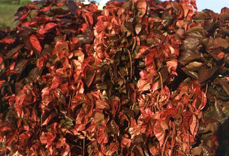 Copper Red Copper Plant Aggie Horticulture