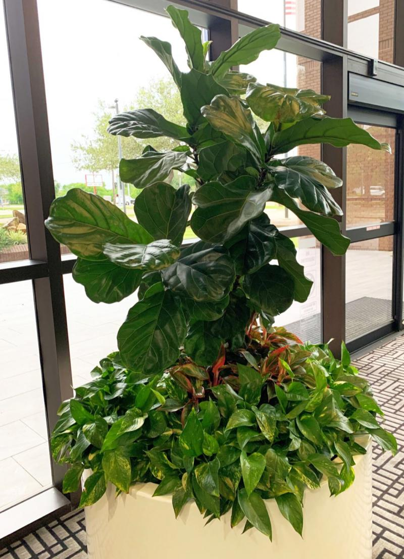 Fiddle-leaf Fig in Large Container