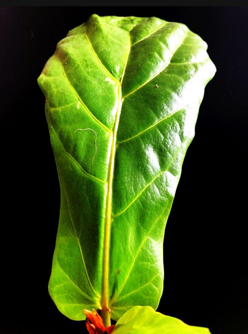 Shape of Fiddle-leaf Fig resembles fiddle