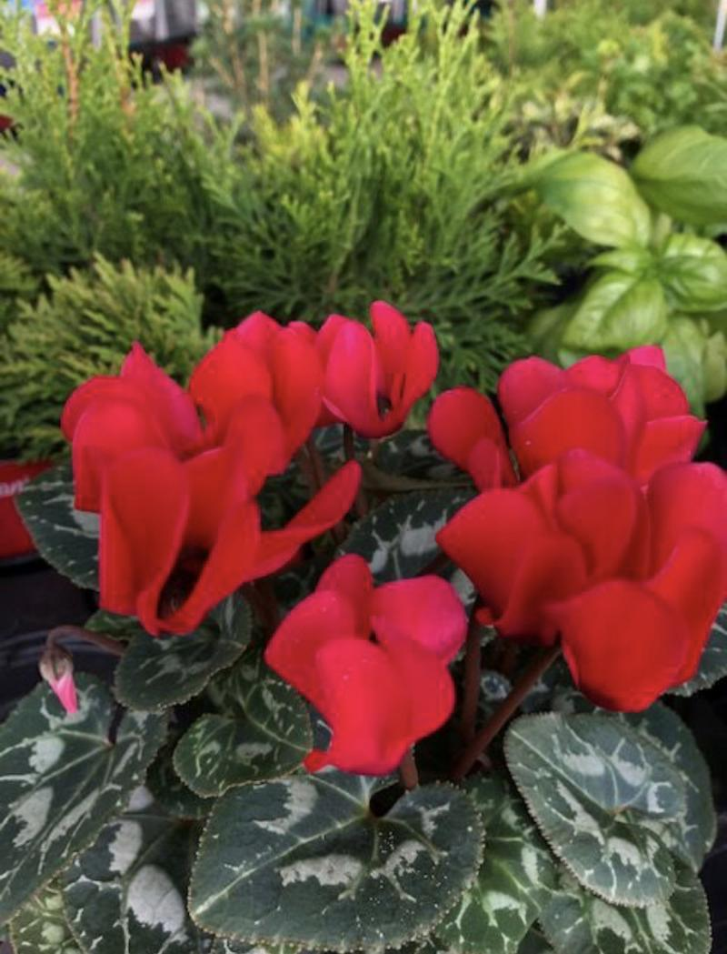 Cyclamen's reflexed or backwards petals