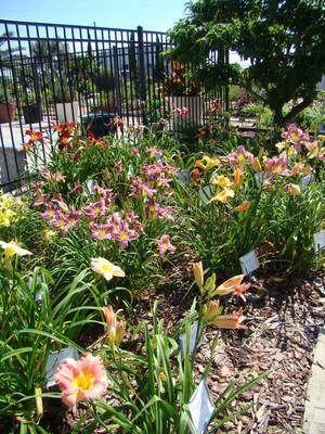 The daylily garden at VEG