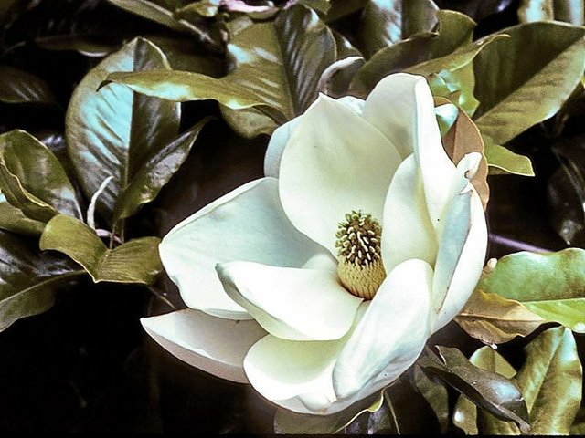 Magnolia Tree Cream Colored Bloom