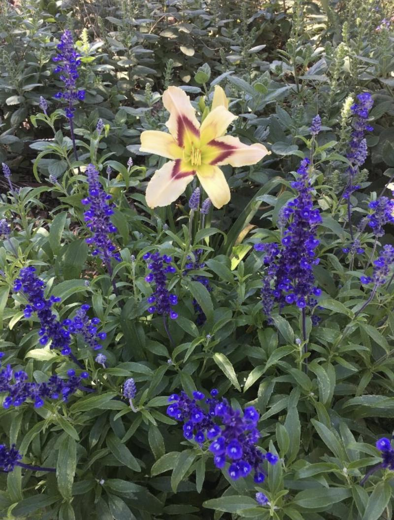 Victoria Blue Salvia with Yellow Daylily