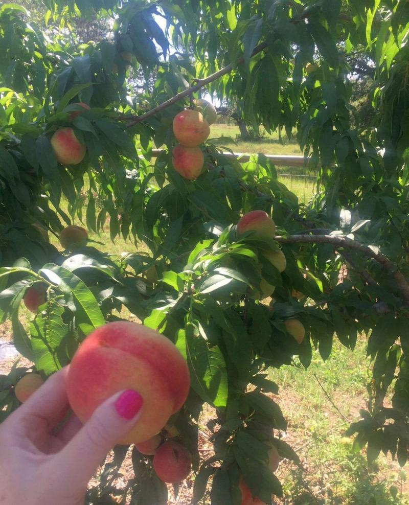 Six peach tree varieties available at fall plant sale