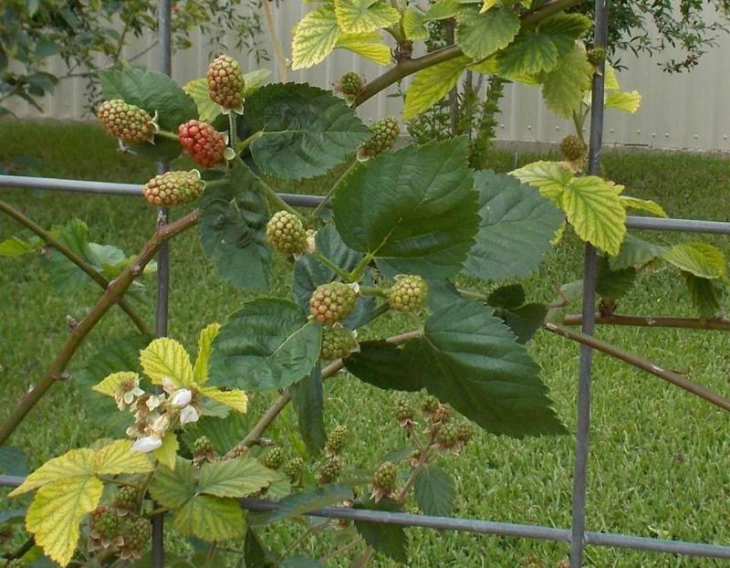 Natchez Blackberry fall plant sale