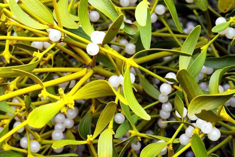 Mistletoe recognizable by leaves and white berries