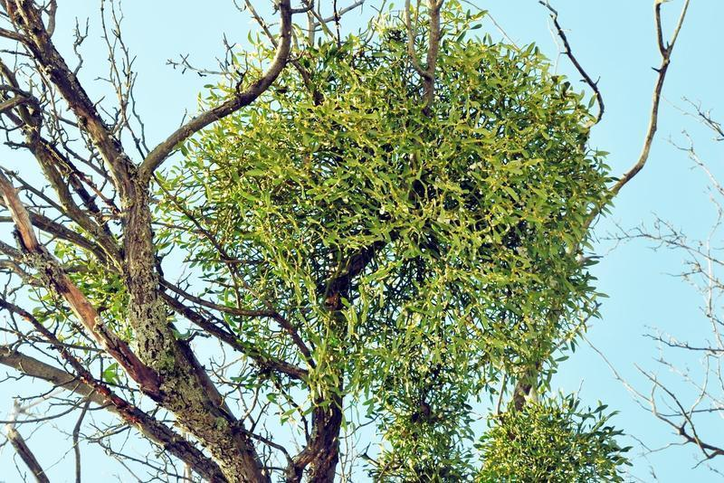 Balls or masses of mistletoe thought to resemble mystical images