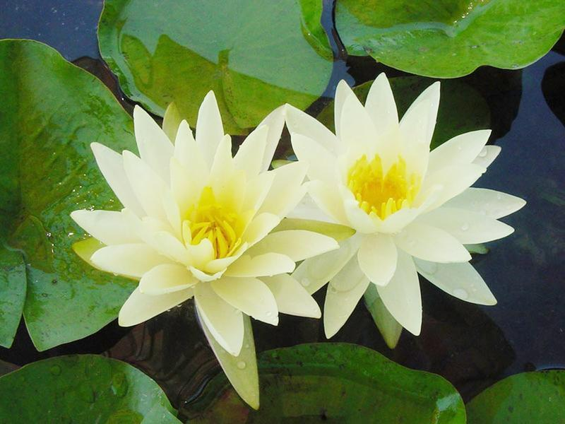 Texas Dawn Water Lily Texas Superstar Plant