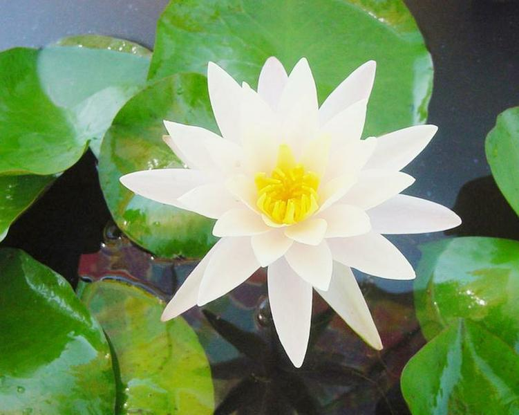 Texas Dawn Water Lily with pinkish cast