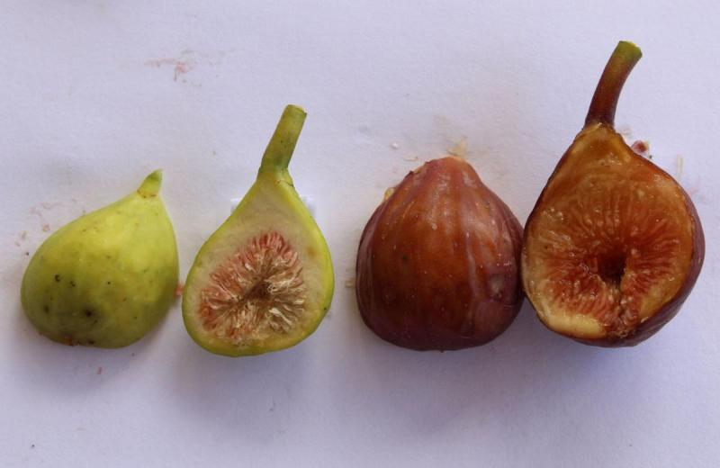 Immature to ripe fig
