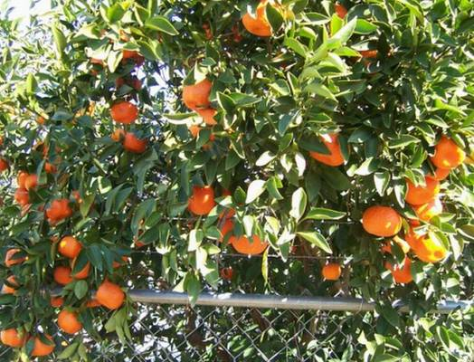 Mandarin Orange Tree photo by Henry Hartman