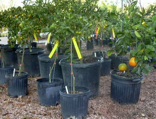 Young citrus available at nurseries
