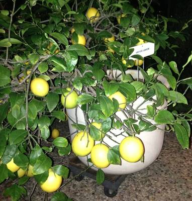 Improved Meyer Lemon Tree bearing fruit by Nancy Kramer