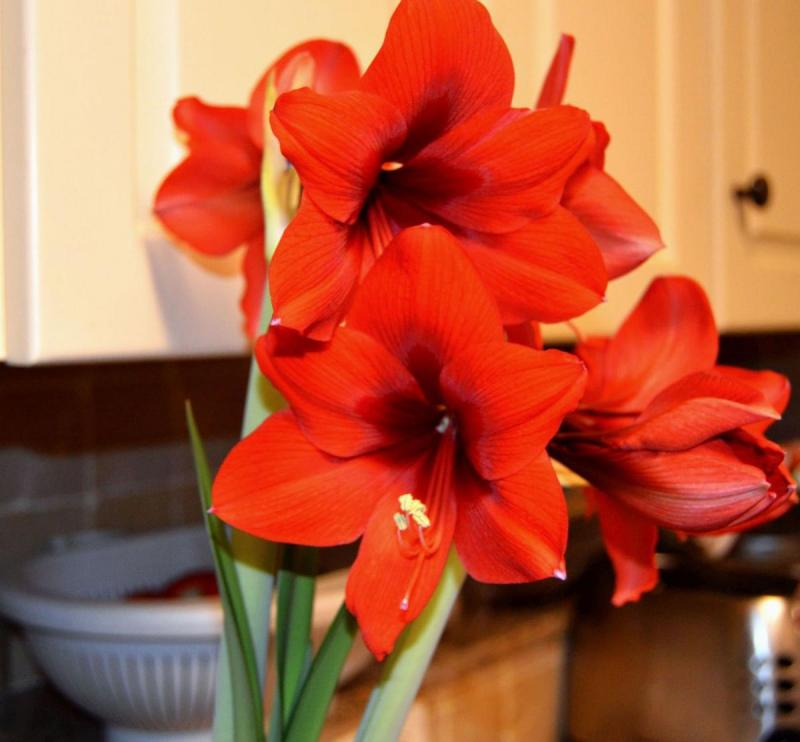 Red Amaryllis can be spectacular for Valentine's Day as well as Christmas