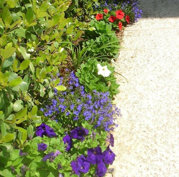 Carpet Series Petunias