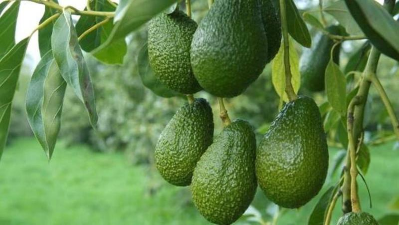 Avocado 'Lila'