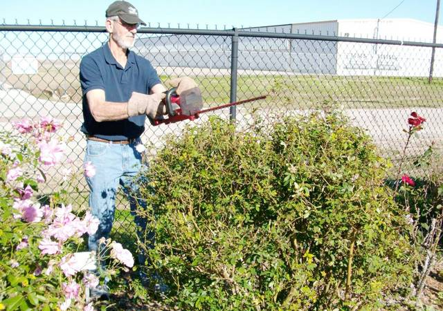 Jerome Janak pruning antique rose bush at VEG