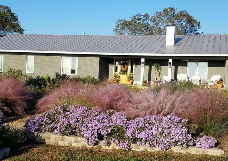 Fall Asters and Gulf Muhly Grass Show Fall Color